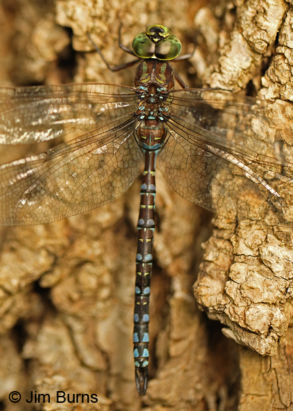 Canada Darner male dorsal close-up, Washington Co., MN, September 2016.