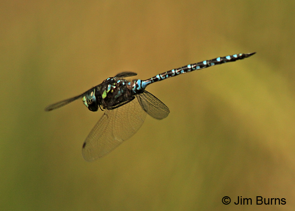 Canada Darner male in flight, Washington Co., MN, September 2016