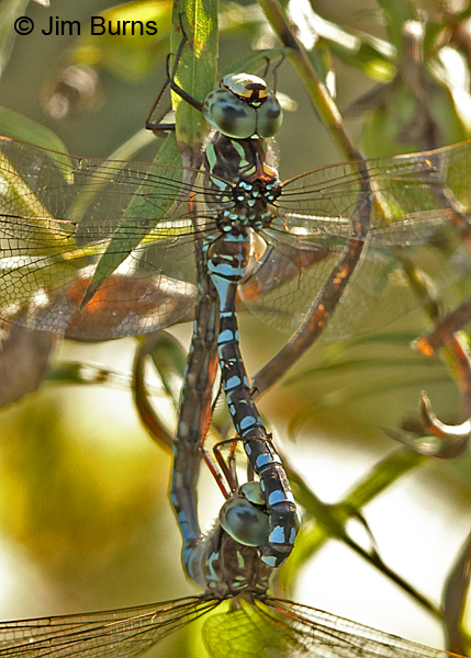 Canada Darner pair in wheel dorsolateral view, Washington Co., MN, September 2016