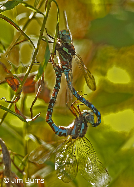 Canada Darner pair in wheel, andromorph female, Washington Co., MN, September 2016