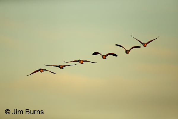 Canada Geese sunrise wing position spectrum