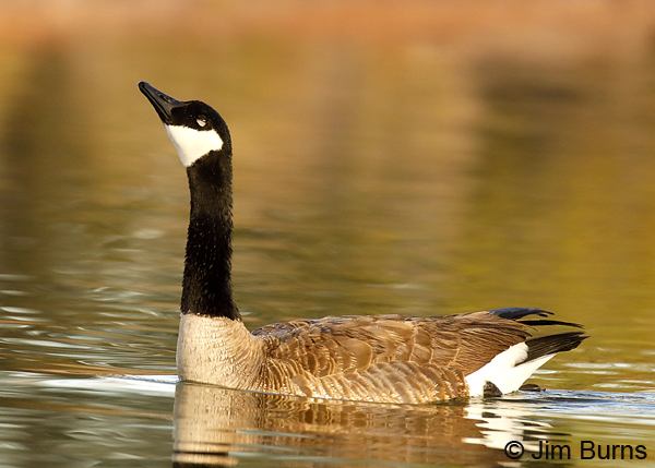 Canada Goose male courtship display