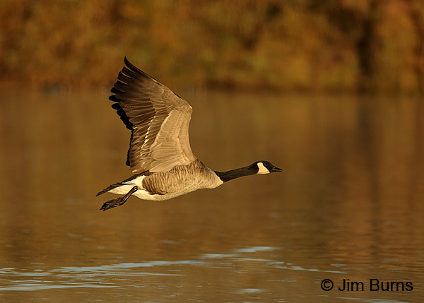 Canada Goose sunrise liftoff underwing