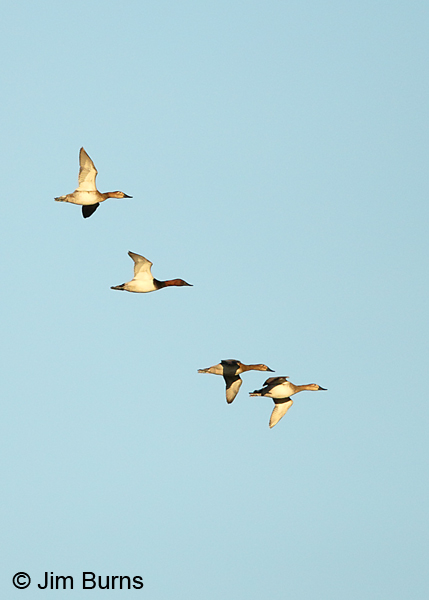 Canvasback flock in flight