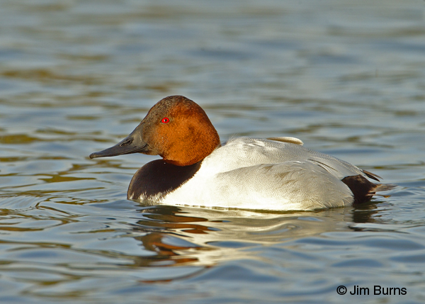 Canvasback male