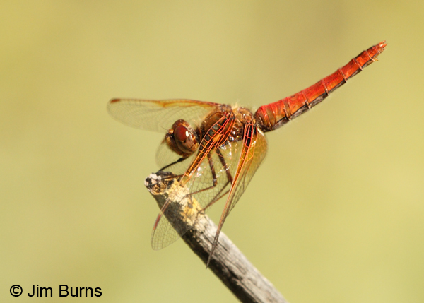 Cardinal Meadowhawk red female, Josephine Co., OR, June 2013