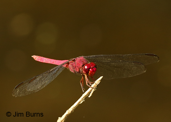Carmine Skimmer male red face, Hidalgo Co., TX, November 2016