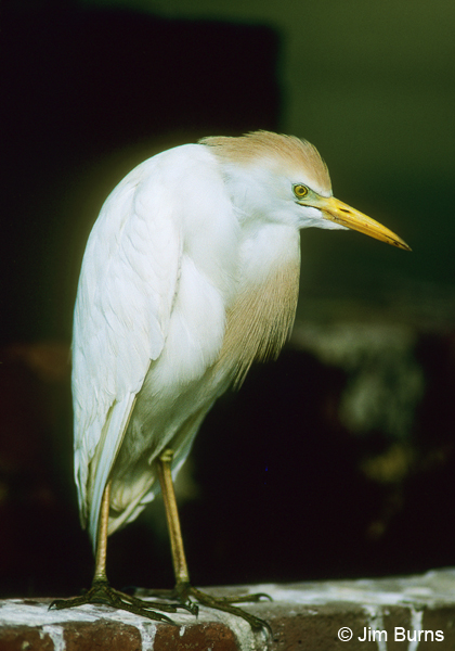 Cattle Egret adult breeding plumage