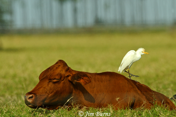 Cattle Egret at work