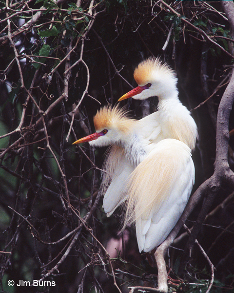 Cattle Egret pair breeding plumage