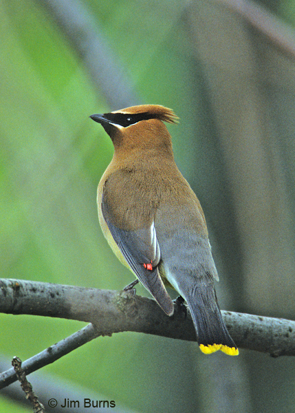 Cedar Waxwing sealing wax
