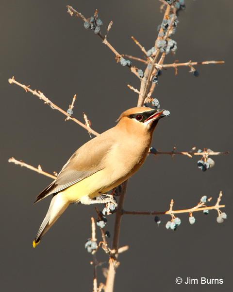 Cedar Waxwing with Desert Olive berry