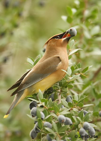 Cedar Waxwing adult with Myrtle berry