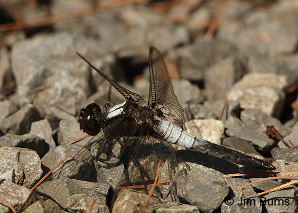 Chalk-fronted Corporal male, Huntingdon Co., PA, June 2015