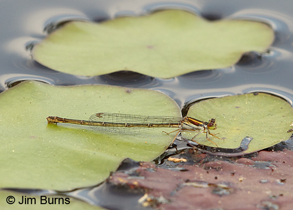 Cherry Bluet female, Chesterfield Co., SC, May 2014