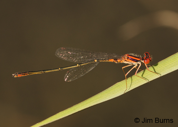 Cherry Bluet male, Horry Co., SC, May 2014