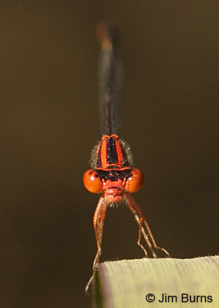 Cherry Bluet male face shot, Horry Co., SC, May 2014
