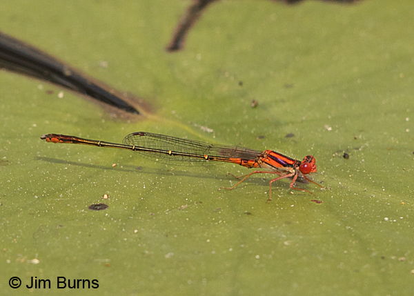 Cherry Bluet male on lilypad, Chesterfield Co., SC, May 2014