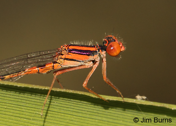 Cherry Bluet male thorax, Horry Co., SC, May 2014