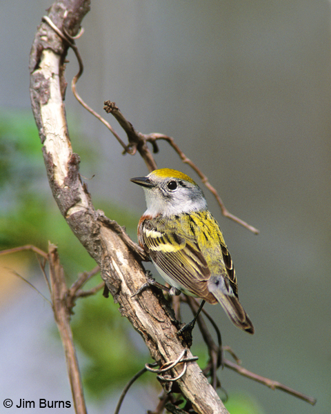 Chestnut-sided Warbler female