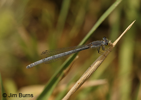 Citrine Forktail mature female with small bug, Maricopa Co., AZ, May 2014
