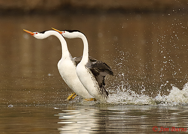 Clark's Grebes rushing horizontal--8991
