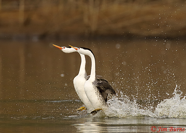 Clark's Grebes rushing horizontal--8997