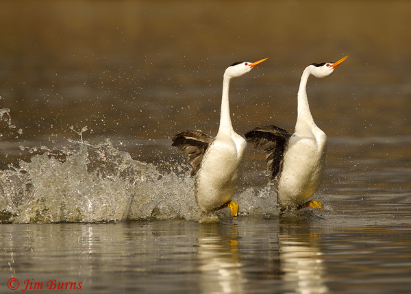 Clark's Grebes rushing horizontal--9097
