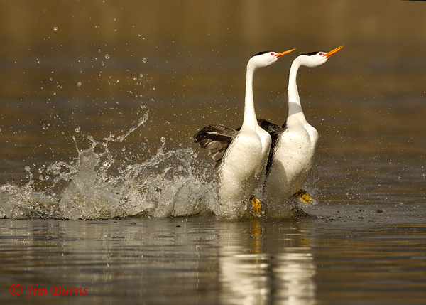 Clark's Grebes rushing horizontal--9110