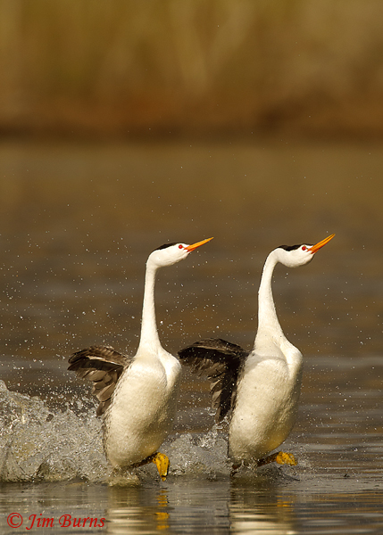 Clark's Grebes rushing vertical--9097