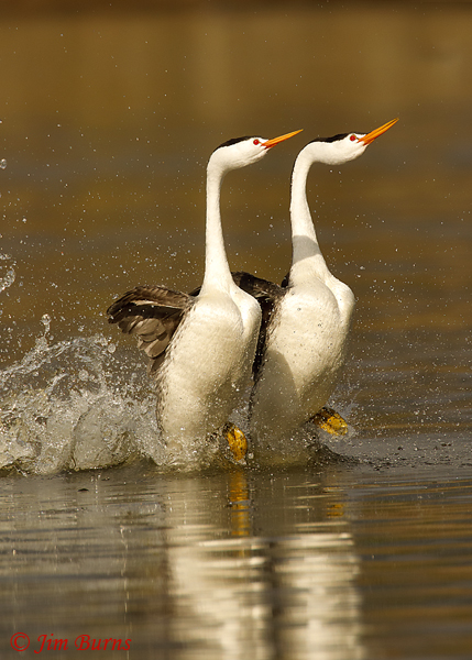 Clark's Grebes rushing vertical--9110