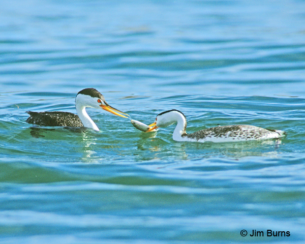 Clark's Grebes with fish