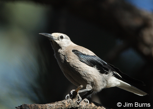 Clark's Nutcracker in pine