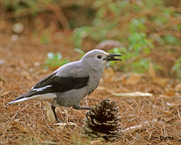 Clark's Nutcracker working pine cone