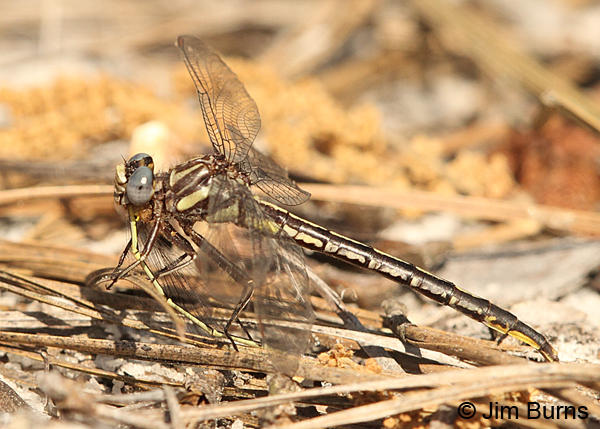 Clearlake Clubtail female eating Citrine Forktail, Chesterfield Co., SC, May 2014