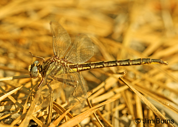 Clearlake Clubtail female on pine needles, Chesterfield Co., SC, May 2014
