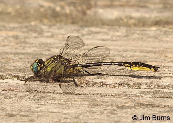 Clearlake Clubtail male, Chesterfield Co., SC, May 2014