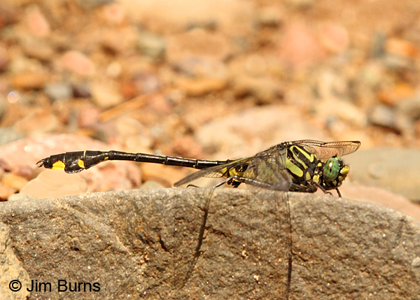Cobra Clubtail male, Chisago Co., MN, July 2014