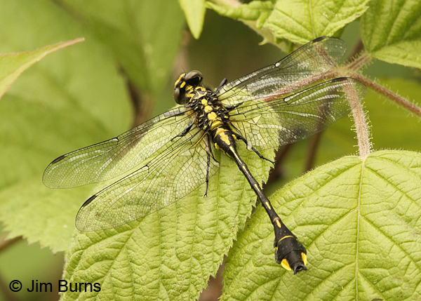 Cobra Clubtail male club, Rusk Co., MN, July 2014