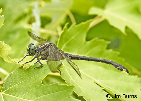 Cobra Clubtail male in foliage, Marshall Co., TN, June 2016