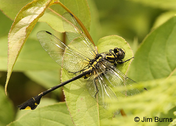 Cobra Clubtail male in foliage, Rusk Co., WI, June 2014