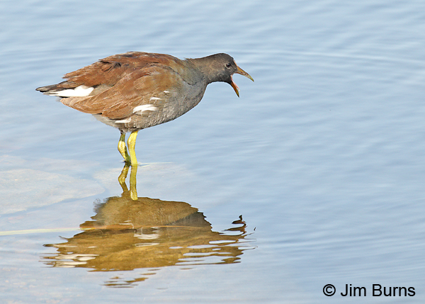 Common Gallinule immature