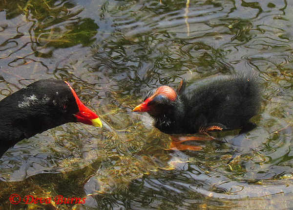 Common Gallinule parent and chick