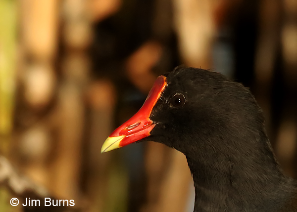 Common Gallinule head shot