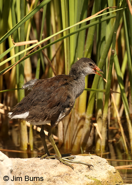 Common Gallinule juvenile wingstretch