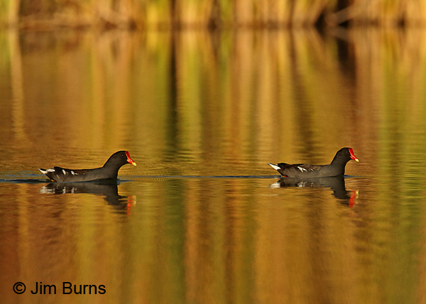 Common Gallinule mated pair