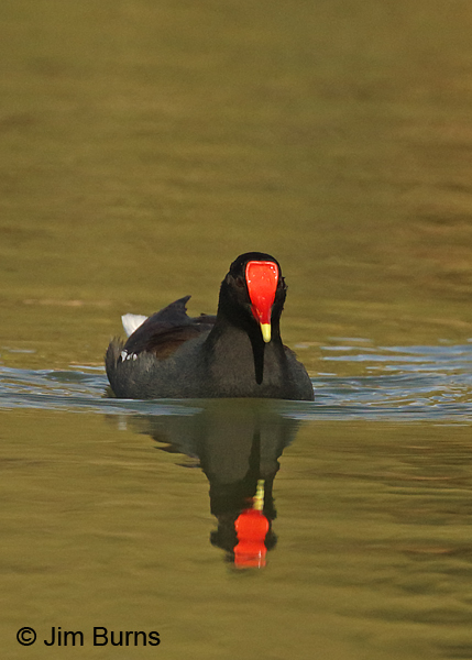 Common Gallinule red shield