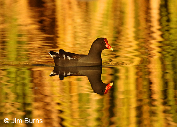 Common Gallinule reed reflections
