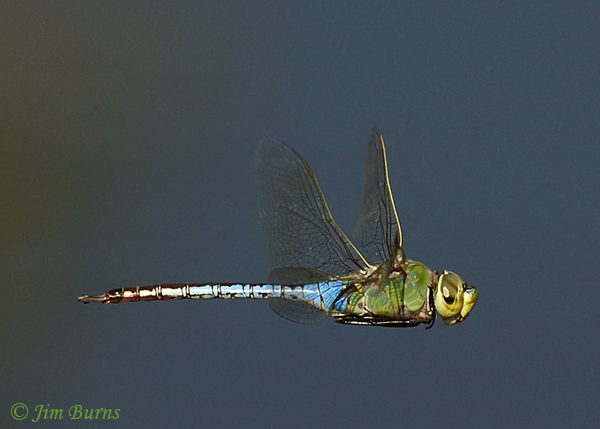 Common Green Darner male in flight, Maricopa Co., AZ, October 2018--9177