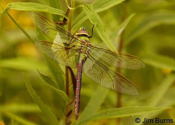 Common Green Darner female, Lake Co., MN, July 2018--9600